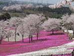桜は満開、白色芝桜がもっとほしい