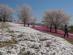 白、白の芝桜が一面に欲しい