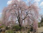 しだれ桜は優雅ですね