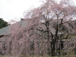 大屋根としだれ桜