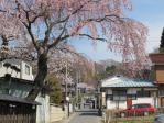 武家屋敷らしい各家に桜が咲いています
