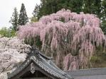 山門と福聚寺桜