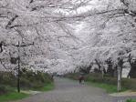 2キロつづく桜のトンネル