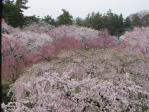 天守閣から見た本丸の桜
