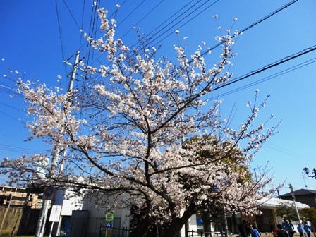 20110406sakura.jpg
