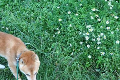 シオンと柴犬