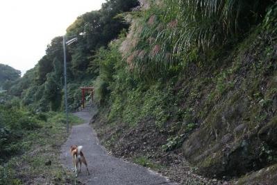 秋の里山に柴犬