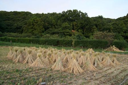 田んぼ収穫時