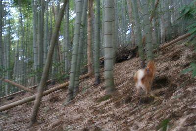 竹林を走る柴犬