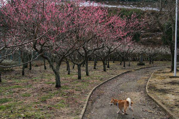 白梅紅梅の林