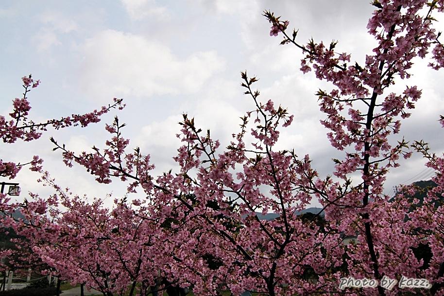 萩しーまーと 河津桜1