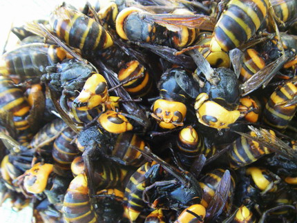 100909スズメバチ