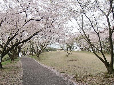 公園内の散りゆく満開の桜