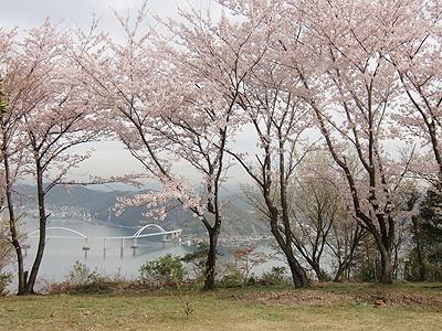 桜越しの内海大橋