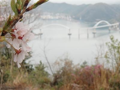 桜の花と内海大橋