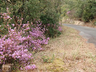 道中には綺麗なピンク色の山ツツジ