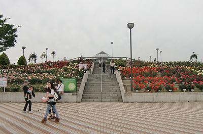 緑町公園の薔薇