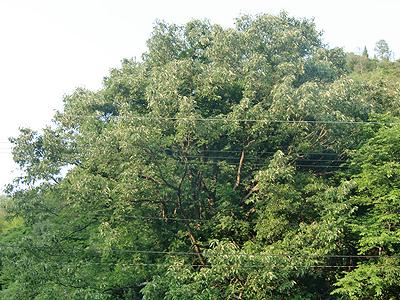 立派なクヌギの木