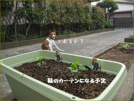 パパさんが植えました。