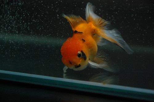 pez de oros 3