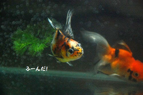 pez de oros 4