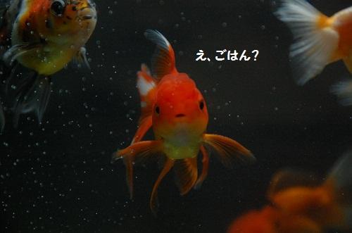 pez de oros 1