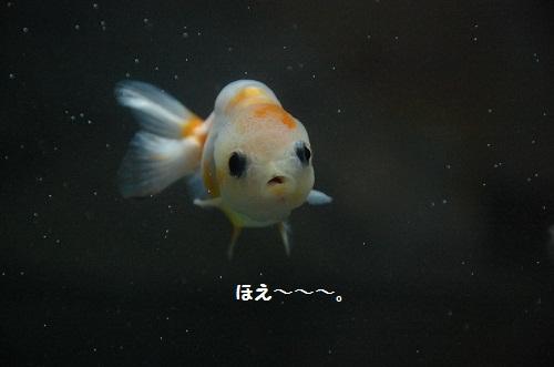 pez de oros 2
