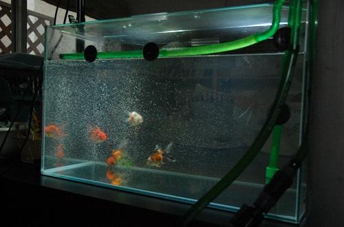pez de oros