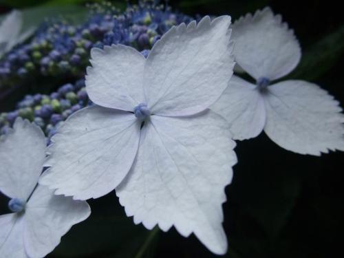 2010.06.14白野江植物公園 紫陽花18