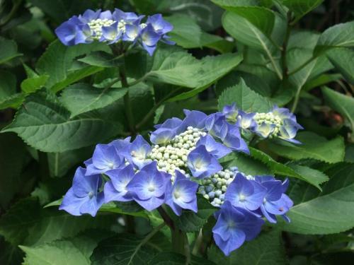 2010.06.14白野江植物公園 紫陽花42