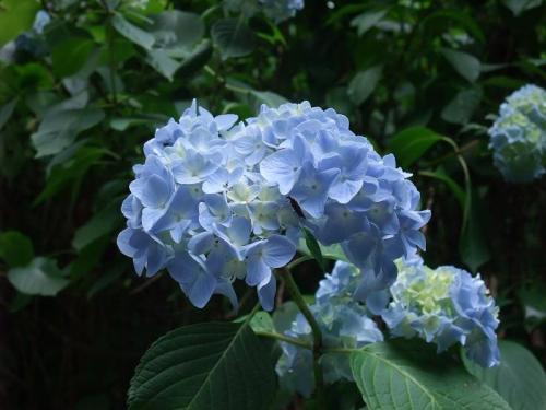2010.06.14白野江植物公園 紫陽花37