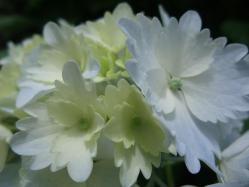 2010.06.14白野江植物公園 紫陽花26