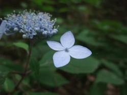 2010.06.14白野江植物公園 紫陽花11
