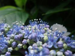 2010.06.14白野江植物公園 紫陽花19