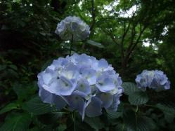 2010.06.14白野江植物公園 紫陽花9