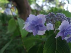 2010.06.14白野江植物公園 紫陽花5
