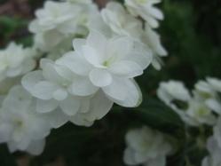 2010.06.14白野江植物公園 紫陽花2