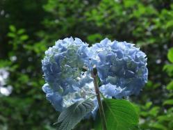 2010.06.14白野江植物公園 紫陽花33