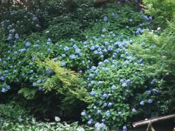 2010.06.14白野江植物公園 紫陽花53