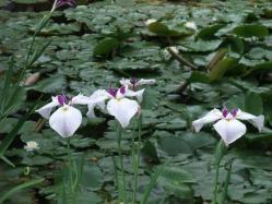 2010.06.14白野江植物公園 菖蒲と蓮の花1
