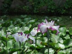 2010.06.14白野江植物公園 菖蒲18