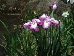 2010.06.14白野江植物公園 菖蒲15
