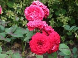 2010.06.14白野江植物公園 薔薇2