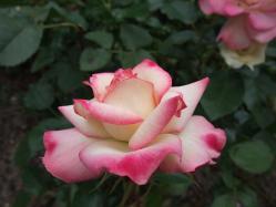 2010.06.14白野江植物公園 薔薇12