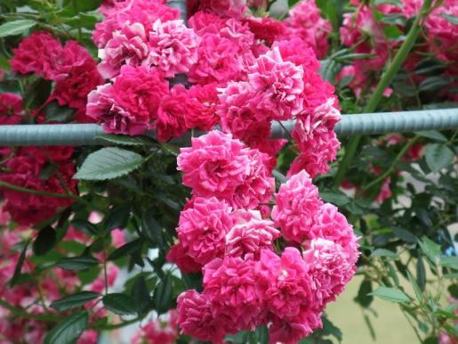 2010.06.14白野江植物公園 薔薇10