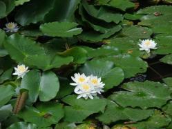 2010.06.14白野江植物公園 蓮の花4