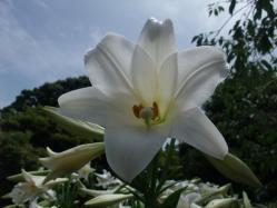 2010.06.14白野江植物公園 鉄砲百合4