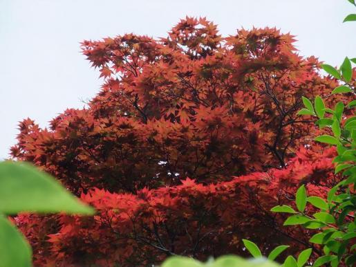 2010.06.14白野江植物公園 モミジ6