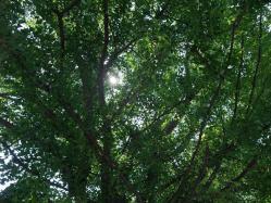 2010.06.02和布刈神社の銀杏の木