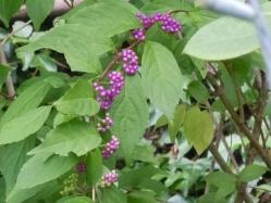 2010.09.26 コムラサキシキブ 小紫式部